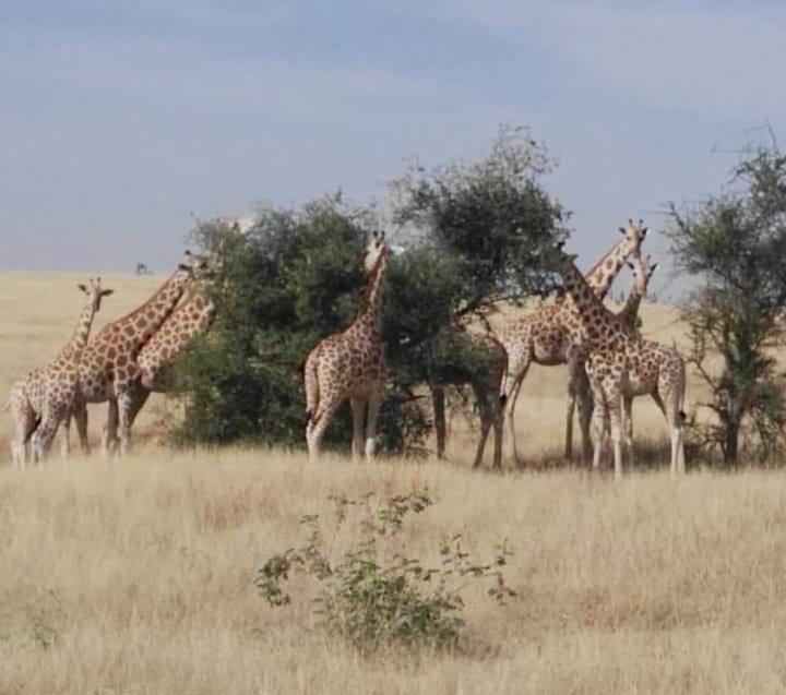 Girafes dans la réserve de Gadabéji au Niger